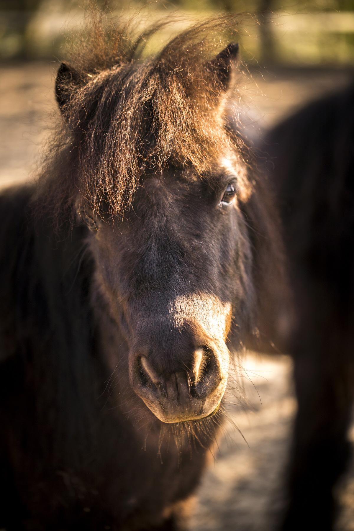 tierfoto pony